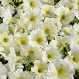 Селебрети F1 желтая семена петунии мультифлора (Benary)