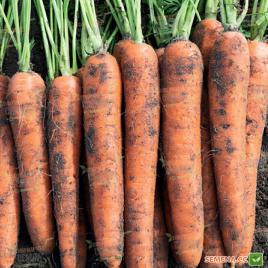 Норвей F1 семена моркови Нантес (фр. 2,2-2,4) 130 дн. (Bejo)