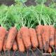 Курасао F1 семена моркови Шантане (фр. 2,0-2,2) 105 дн. (Bejo)