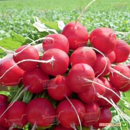 Розетта F1 семена редиса (фр. 2,5-2,75) 25 дн. (Bejo)
