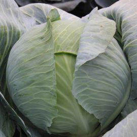 Аскания F1 семена капусты б/к поздней 120-125 дней 2-2,5кг (Lucky Seed)