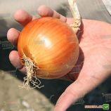 Амадеус F1 (AGX 96-720) насіння цибулі ріпчатої (Agri Saaten)