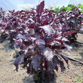 Бордо семена базилика красного (Agri Saaten)