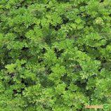 Изумруд семена петрушки кучерявой (Agri Saaten)