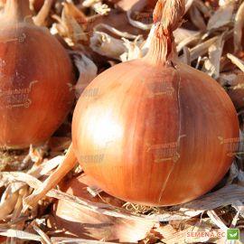 Кронборг F1 (AGX 96-705) семена лука репчатого среднего (Agri Saaten)