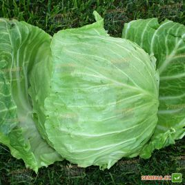 Ориента F1 семена капусты б/к ультраранней 50 дн. 1-1,5 кг (Agri Saaten) НЕТ ТОВАРА