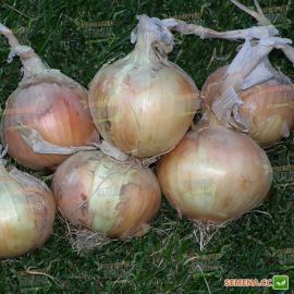 Шилтон F1 (Шилотон) семена лука репчатого озимого (Agri Saaten)