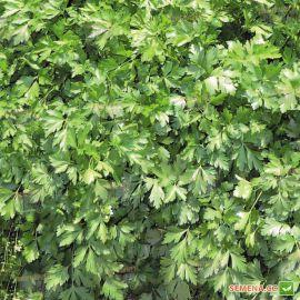 Янтарь семена кориандра (кинзы) (Agri Saaten)