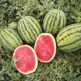Бедуин F1 семена арбуза 80 дн. 8-10 кг (Bejo)