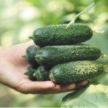 Хелен F1 семена огурца партенокарп. ультраранн. 32-35 дн. 10-12 см (Sakata)