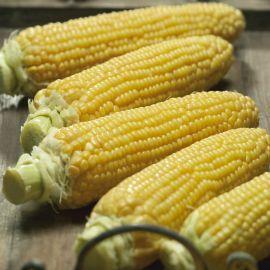 Густа F1 семена кукурузы сахарной (Semo)
