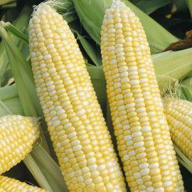 Рамондиа F1 семена кукурузы суперсладкой Sh2 ультраранней 65-70 дн. биколор (Semo)