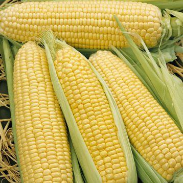 Элен F1 семена кукурузы сладкой Su ранней 65-70 дн. 250-350 гр. 18-20 см 16-18 р. (Semo)