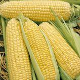 Елен F1 насіння цукрової кукурудзи (Semo)