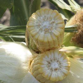 Элен F1 семена кукурузы сладкой Su ранней 65-70 дн. (Semo)