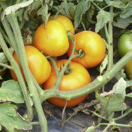 Свит Сан F1 семена томата дет. раннего 100 дн. 220 гр. желт. (Lark Seeds)