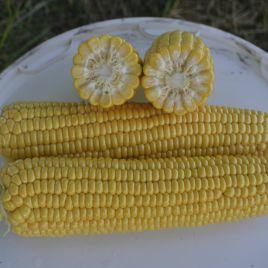 1010 F1 семена кукурузы супер сладкой Sh2 72 дн. 25 см (Lark Seeds)