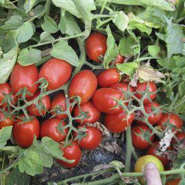 3402 F1 семена томата дет. среднераннего 110 дн. слив. 90-95г (Heinz/Lark Seeds)