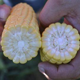 1709 F1 семена кукурузы суперсладкой Sh2 ультраранней 65 дн. (Lark Seeds)