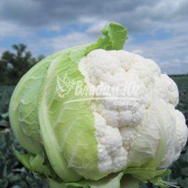 Трайдент F1 семена капусты цветной среднеранней 75-80 дн. 1,5-2,5 (Clause)