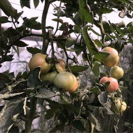 ТС 02-0082 F1 семена томата индет. окр. 200-220 г роз. (Solare Sementi)