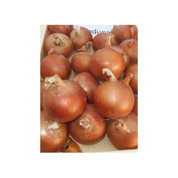 Медуза F1 семена лука репчатого среднераннего 110 дн. (Takii Seeds)