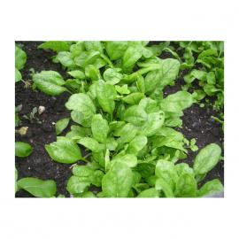 Корвер F1 Organic семена шпината овального (Enza Zaden/Vitalis)