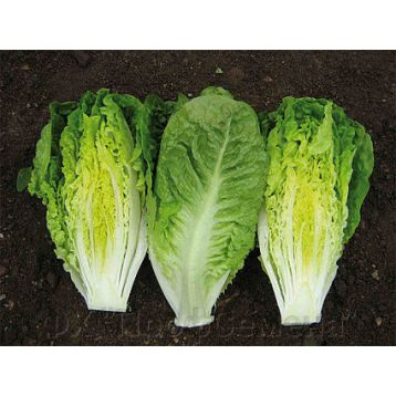Ксамена Organic семена салата тип Ромэн (Enza Zaden/Vitalis)