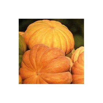 Мускат де Прованс F1 Organic семена тыквы тип Мускатный 7-8 кг (Enza Zaden/Vitalis)