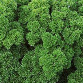 Орфео семена петрушки кудрявой (Enza Zaden)