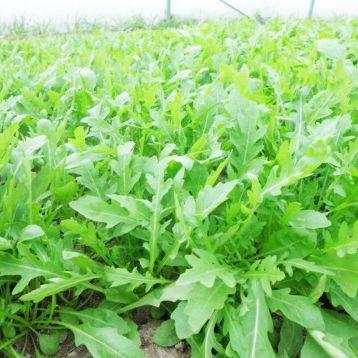 Пруденция F1 семена рукколы (Enza Zaden)