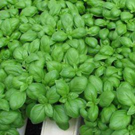 Мариан семена базилика темно-зеленого (Enza Zaden)