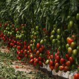 Ельза F1 насіння томата індет. раннього 100 дн. 140 гр. (Lark Seeds)