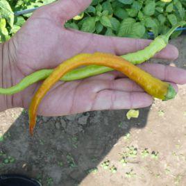 Спираль F1 семена перца острого раннего (Lark Seed)