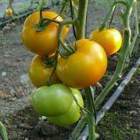 Еллоу Болл F1 насіння томата індет. раннього 100 дн. 200-250 гр. жовт. (Lark Seeds)