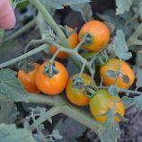 Оранж Олив F1 семена томата дет. среднераннего черри 25-30 гр. оранж. (Lark Seeds)