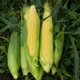 1707 F1 семена кукурузы суперсладкой Sh2 ультраранней 71 дн. 25 см (Lark Seeds)