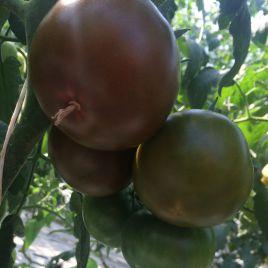Мавр F1 семена томата индет. 110 дн. 140-160 гр. корич. (Lark Seeds)