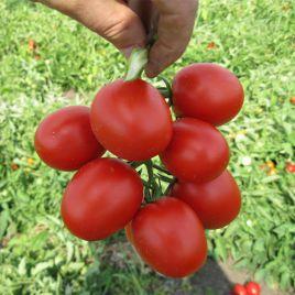 Грандо F1 семена томата дет. (Lark Seeds)