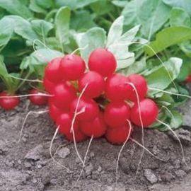 Донар семена редиса (Syngenta)