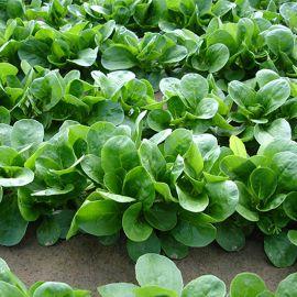 Акцент семена корн-салата (Enza Zaden)