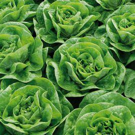 Брайтон семена салата маслянистого (Enza Zaden)