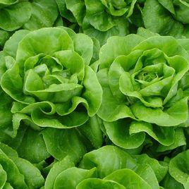 Ферли семена салата маслянистого (Enza Zaden)