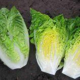 Ксамена семена салата тип Ромэн (Enza Zaden)