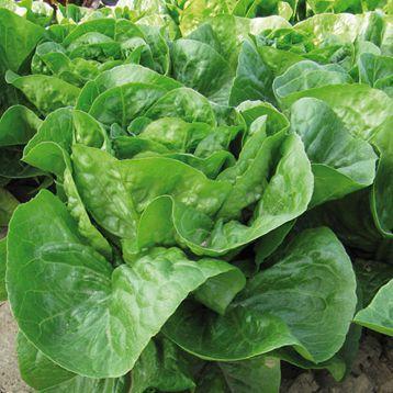 Ксарома семена салата тип мини Ромэн темно-зел. (Enza Zaden)
