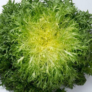 Калафайн семена салата тип Эндивий (Enza Zaden)