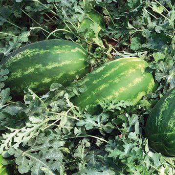 Реденза F1 семена арбуза тип Кримсон Свит раннего 10-12 кг (Enza Zaden)