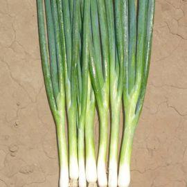 Банчинг Стар F1 семена лука на перо (Enza Zaden)