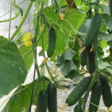 Северин F1 (E23Р.16087 F1) семена огурца партенокарп. 10-12 см (Enza Zaden)
