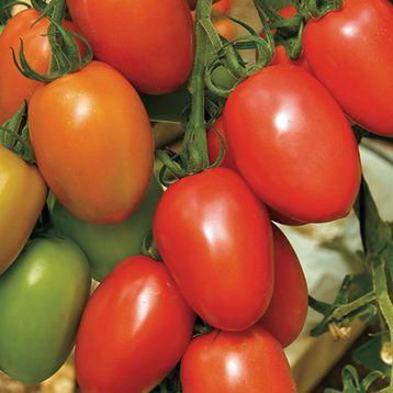 Лината F1 семена томата дет. 80-90 гр (Enza Zaden)